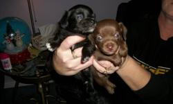 One puppy left very very cute. Mother and father on site, father is (black) long-haired chihuhua 3-4lbs, mother is (goldenbrown) terrier 8-10lbs. Puppy is black long haired (male) Inquire if inetersted (Rhonda) 519-518-6164 Thanks