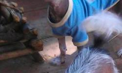 Chinese crested puppy male ,very playful ,and extremely smart . He is allready using the doggie door to go out to the bathroom. He comes with shots several wormings and his vet check. He has lots of colour,will send pictures when requested. Please email