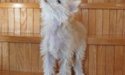 Male and female Chinese Crested are a unique choice and are available for Christmas.  They do well with children and other pets, love to go wherever you go. Charming and sociable, they are lively and delightfully happy lap dogs. Intelligent, friendly and