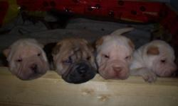 Pure bread Chinese Shar Pei  for sale!! Will have first shots. The mom and dad are like my kids to me I expect whoever takes the babies will love and treat them like we do. Please do your research on the breed before considering purchasing one. phone 403