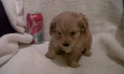 Adorable Chipoo puppies 2 females, 3 males for sale. Absolutely adorable weighing 9oz at 4wks young. Currently being De-wormed, will get 1st set of shots at 6 wks young. Will not be ready to go to their new homes till Jan 19th 2012