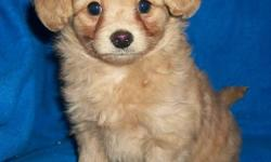 Cute and friendly! We can deliver to Prince George Dec. 21st!  We have one Chipoo puppy left!  He comes with his vaccinations and a one year health guarantee.  He'll be a great companion dog and should be good with kids.  Please contact us if you're