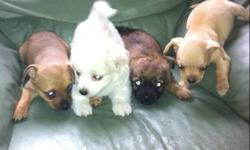 These puppies are Chiuaua/Pomeranian mix. Ready for new homes. They are 8 weeks old. $400 a puppy for more information or questions contact Conrad 204-298-0951 after 5pm 231-3830 No emails call please This ad was posted with the Kijiji Classifieds app.