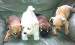 These puppies are Chiuaua/Pomeranian mix. Ready for new homes. They are 8 weeks old. $250 a puppy for more information or questions contact Conrad 204-298-0951 after 5pm 231-3830 No emails call please This ad was posted with the Kijiji Classifieds app.