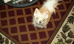 Chiwauwau, terrier, pomeranian mix (femeale), neutered and all shots, 6 lbs Very lovable