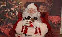 chiwawa Puppies cute as a button  they were born not so long ago can be seen at their home with mommy and daddy 87H Sympatica cres Brantford