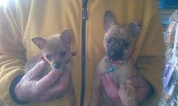 TWO BEAUTIFUL MALE CHIWAWA  TERRIER CROSSES, AVAILABLE NOW! CALL FOR DETAILS @ 519-652-7001 OR VISIT US AT PET-OLOGY LONDON - 7-2295 WHARNCLIFFE RD S, IN THE LAMBETH FOODLAND PLAZA.