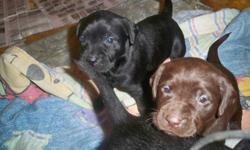 Cute and cuddly little bundles of fun. Little lab puppies. We have both parents and they are both good hunting dogs. The pups come with first shots, dewormed and vet checks. They are ready to go  next weekend. If interested please call 250-424-5095.