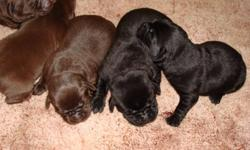 * Chocolate and black labrador puppies * Ready November 25th * First shots, vet checked & dewormed * Puppies come with a written 2 year guarantee * $300 deposit required * The parents are both here to view * The parents have their hip, elbow, eye and