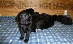 We have 9 very cute all black puppies that will need a new home. Male and female, active little ones. Will be great with kids as they are getting lots of attention from ours! Mom is medium sized chocolate lab, father is larger black lab. 4 weeks old at