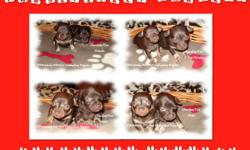 """PAWsitively PAWfect Chihuahua Puppies for the love of the breed CHOCOLATE'S GALORE....FOR THE CHOCOLATE LOVER IN YOU....THEY MELT IN YOUR HEART....NOT IN YOUR HANDS!!!!! The puppies will be """"Ready To Go"""" after the Christmas/New Year Season...just after"""