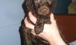 Beautiful Chocolate Labradoodles DOB:NOV 5th/2011 Everyone LOVES Chocolate! Why dont you give the gift that will keep on giving for years to come! Males and 1 Female avaliable These are the F1B's! VERY LOW to NON Shedding! Which will be a bonus for