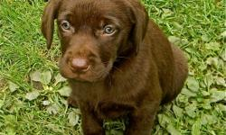 Adorable Chocolate Lab puppies. Beautiful colour. Excellent temperament. Vet checked, 1st shots, dewormed. Both parents are CKC registered, top quality English Labradors.