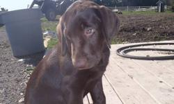 Chocolate Lab Puppies!!!!! They have their 1st and 2nd shots, dewclaws removed. They are potty trained, they come when they are called. Love to play with their mom and with other dogs. Mother is on site. Only males available.