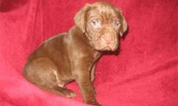 Very nice English Chocolate Lab Puppies, with 1/4 Weinheimer, come with first shots, dewormed, email  for pics of mom and dad, or more info