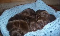 We have three chocolate puppies available to go to new homes after December 6th.  They were born on October 11, 2011.  We have one girl and two boys available.  ?Our puppies are CKC registered and our puppies are sold with a two year health guarantee