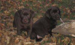 CKC REGISTERED DEWORMED 1ST PUPPY VACCINATION with health records MICROCHIP ID, all our puppies are sold with non-breeding contracts and come with health guarantee. ONLY 2 FEMALES LEFT !! Please email for more information Visits are weekends only!