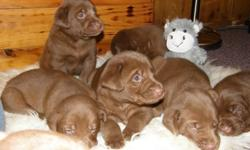 Beautiful litter of 9 chocolate lab puppies Males and Females Long time reliable breeder in the north of labs & Labradoodles. Born December 27th 2011 7 beautiful puppies to choose from Both parents are Chocolate and on site All puppies will be fully