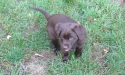Three adorable chocolate lab puppies for sale. Two females and one male. Born August 18, ready to go October 13.  Vet checked and first shots. A deposit will hold your puppy until it's ready to go. No emails please call 613 345-3917.