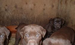 purbred labs , 3rd shots ,dewormed  3 males left  (offers) (780)963-4365 pls call , must go!!