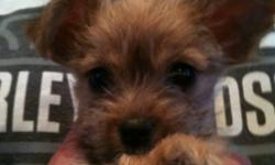 3 mail yorkie x chihuahua tiny puppy's for sale they will be 3 to 4 lbs full grown They are hypo allergenic and non shedding. The three amigos Are eating hard puppy food and training on pea pads. Very playful and spunky. Ready for new homes dec 20th 2011.
