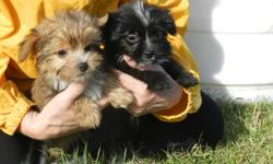 Three male chorkies two black and one brown. all have had their tails docked, dew claws removed, dewormed, first shot, and healthy vet checks. parents are available to be seen. these pups are so fluffy and playful. By far the cutest little bundles of fur
