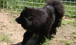 Chow Chow Puppies I have 6  Black Chow Chow Puppies They were born on October 13 2011. There are three girls and three boys. They have been  vet checked and there first shots and dewormed and ready to leave here with a health card. around  December 8