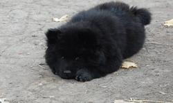 Chow Chow Puppies There are three puppies left one male and a female from eack litter They were born on October 13 2011. They have been vet checked and have thier first shots and dewormed and will be ready to leave here with a health card around December