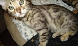 I have 2 Bengal Boys that will be ready for forever homes on Christmas. Unique coloring. very active and talkative, extremely loving. Litter trained, wet and dry foods, have their shots, not altered, no contract. Email for more information and pictures.