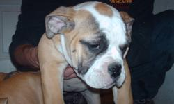 WE HAVE 3 FEMALES AND 2 MALE OLDE ENGLISH BULLDOGGE PUPPIES LOOKING TO BE SOMEONES SPECIAL CHRISTMAS GIFT THIS YEAR !   WE ARE CUTE AND PLAYFUL AND COME FROM CLEARBROOK'S BLOODLINE OUR PARENTS ARE CLEARBROOK'S ANGIE AND CLEARBROOK'S OSCAR , GRANDCHILDREN