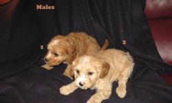 This is a very cute litter of 6 male Cavapoo puppies. Cavapoo's are a cross between a Cavalier King Charles Spaniel (the father) and a Mini Poodle (the mother). They're finished weight will be approx. 20 pounds. They love to have fun and are very playful
