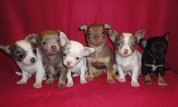 Santa came a little early....but boy oh boy have i got some Gorgeous Happy Healthy little Chihuahua Puppies for you to choose from.Four Females & Two Males.They will have their Vet Check...1st shots...dewormings and Health Guarantee.Also by my Vet 2nd Vet