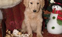 Goldendoodles available right away. Almost 9 weeks old. Raised with children, very sweet and well cared for. Perfect Christmas gift for someone you really love. Only 3 left from a litter of 7. Will hold until Dec. 23 with deposit. Delivery available Vet