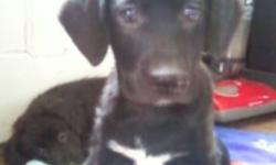 Adorable mixed breed puppies- all black and white(except for one puppy) short fur, and they all LOVE LOVE LOVE cuddling-Mother is husky/aussi sheppard/border collie mix and Father is Black Lab/Beagle mix-mother and father on site. PLEASE CALL(do not