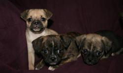 Sought after little Chugs (Pug x Chihuahua) pups. 1 female (light tan in first photo) and other 3 are males. Dad is a fawn Pug (14 lbs) and Mom is Chihuahua (5 lbs) with a primarily white coat with tri-coloured markings. These little ones all have