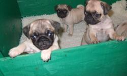 I have 4 female and 1 male fawn pug puppies for sale. The puppies are raised in our house and have been around children and other dogs and cats. They are vaccinated, dewormed, chipped and health inspected by the vet. They are ready to go to their new