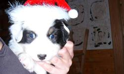Only one pup left from this fabulous breeding! Ready to go Jan 7th 2012 Micro chipped, Registered CKC, dewormed, first shots, 5 year guarantee. Home raised, parents on site. Excellent temperament. One Black Tri Female Available, full tail,. Panda is a
