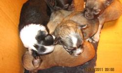 Will be available in feb,long coat reg'd ckc chihuahua's ,they will be microchipped,vaccinated,health checked,etc, ( chihuahua's are not a suitable pet for kids)non breeding contract,prices usually range from $1000 to $1200,6weeks health insurance puppy