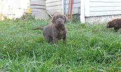Evergame Labs is once again pleased to present a lovely litter of seven beautiful purebred labrador retriever puppies.  Four males, three females, five chocolate and two yellow.  These gorgeous puppies are American field type labs, athletic and
