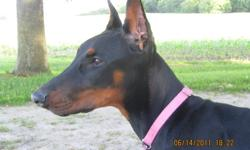 CKC REGISTERED DOBERMAN PUPPIES These dobermans are friendly and fun loving with the desire to be a wonderful new addition to the family. Proud babbies Of Whisper and Willow All puppies are CKC registered, Tails and dew claws removed, 1st set of shots,