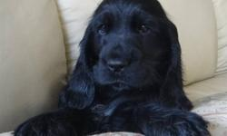 Beautiful black English Cocker Spaniel Puppies. Will be CKC Registered, have first shots and will be microchipped. Our puppies are well socialised, raised in our home make wonderful family pets. Ready to go to new homes December 23rd at 8 weeks old.