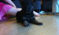 Puppies born Sept. 2. 6 Males and 2 Females. All Black and Tan, Large, big boned puppies with rich pigment. Discounts to families with special needs children. The gorgeous boy pictured laying down in the house, with both of his ears up is available. This