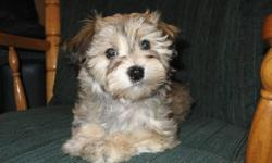 This beautiful loving Havanese pup would make that special someone a perfect gift of companionship. Havanese are loyal, gentle, loving, people pleasing dogs. 1 female left that is CKC Reg. with Champion blood lines. She has beautiful silky Non Shed Hypo