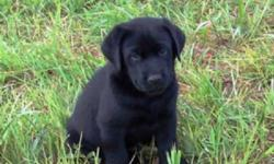 Black CKC registered Labrador Retriever puppies, 2 males.  These puppies have been raised in my home and have had plenty of socialization and people interaction.   I own both parents, and other family members, Mom and Dad are at my home for viewing.  I
