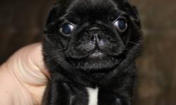 CKC Registered Pug puppies for sale to approved pet homes. Our puppies are raised in our house and are well socialized. Most of our sires and dams are champions and we breed first and foremost for Health & our next show quality puppy to help better this