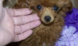 ON HOLD Cindy is a Teacup Red Female Poodle 3.1/2 lbs full grown.  Has had all shots, microchipped and spayed.  She is tiny enough to travel with you by plane, car or just in your arms.  She will need some house and leash training but she is very smart