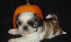 Canadian Kennel Club Registered Shih Tzu puppies born Aug. 18, 2011.  All babies will have vet checks, dewclaws removed, first shots, started on heartworm prevention program, microchipped, dewormed 4 x, 6 weeks free pet insurance, CKC reg. papers,