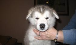 TUNDRA ALASKAN MALAMUTES has one grey and white male puppy available from a litter of 9 born on November 19th.  He will come with a puppy pack and will be registered with the Canadian Kennel Club on a non-breeding agreement.  He has been vet checked,