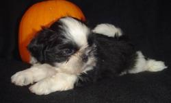 Canadian Kennel Club Registered Shih Tzu puppy born Aug. 18, 2011.  He has had 2 vet checks, dewclaws removed, first & second shots, started on heartworm prevention program, microchipped, dewormed 4 x, 6 weeks free pet insurance, CKC reg. papers,