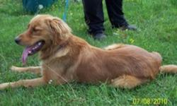 *CKC reg golden retriever male*** dark red in color almost 2 yr old, very big dog,bulky head and strong pup comes with breeding rights paid $1500 to have breeding rights will sell for best offer,closer to asking price not closer to $10